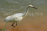 SRI LANKA, Kandy, Kandy Lake, Egret, looking for fish, SLK3915JPL
