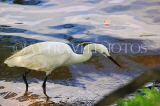 SRI LANKA, Kandy, Kandy Lake, Egret looking for fish, SLK3902JPL