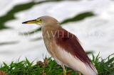 SRI LANKA, Kandy, Kandy Lake, Indian Pond Heron, SLK3870JPL