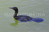 SRI LANKA, Kandy, Kandy Lake, Little Cormorant, SLK3889JPL