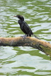 SRI LANKA, Kandy, Kandy Lake, Little Cormorant, SLK4008JPL