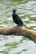 SRI LANKA, Kandy, Kandy Lake, Little Cormorant, SLK4009JPL