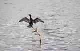 SRI LANKA, Kandy, Kandy Lake, Little Cormorant, cooling with wings spread, SLK3836JPL