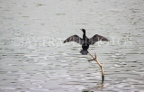 SRI LANKA, Kandy, Kandy Lake, Little Cormorant, cooling with wings spread, SLK3837JPL
