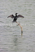 SRI LANKA, Kandy, Kandy Lake, Little Cormorant, cooling with wings spread, SLK3838JPL