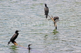 SRI LANKA, Kandy, Kandy Lake, Little Cormorants, SLK3887JPL