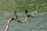 SRI LANKA, Kandy, Kandy Lake, Little Cormorants, SLK3888JPL