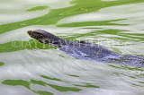 SRI LANKA, Kandy, Kandy Lake, Monitor Lizard (Kabaraya) swimming, SLK3950JPL