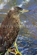SRI LANKA, Kandy, Kandy Lake, Striated Heron, looking out for fish, SLK3860JPL