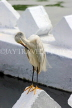 SRI LANKA, Kandy, Kandy Lakeside, Egret,  preening its feathers, SLK3868JPL