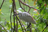 SRI LANKA, Kandy, Kandy Lakeside, Egret perched on tree branch, SLK3832JPL