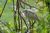 SRI LANKA, Kandy, Kandy Lakeside, Egret perched on tree branch, SLK3901JPL