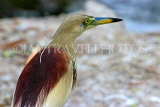 SRI LANKA, Kandy, Kandy Lakeside, Indian Pond Heron, SLK3871JPL