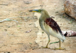 SRI LANKA, Kandy, Kandy Lakeside, Indian Pond Heron, SLK3874JPL