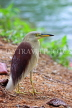 SRI LANKA, Kandy, Kandy Lakeside, Indian Pond Heron, SLK3878JPL