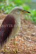 SRI LANKA, Kandy, Kandy Lakeside, Indian Pond Heron, SLK3923JPL