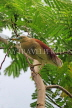 SRI LANKA, Kandy, Kandy Lakeside, Indian Pond Heron, perched on tree beanch, SLK3879JPL