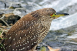 SRI LANKA, Kandy, Kandy Lakeside, Striated Heron, looking out for fish, SLK3855JPL