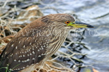 SRI LANKA, Kandy, Kandy Lakeside, Striated Heron, looking out for fish, SLK3856JPL
