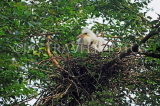 SRI LANKA, Kandy, Kandy lakeside, Egret chicks nesting on tree, SLK4050JPL