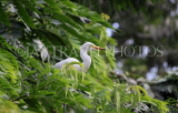 SRI LANKA, Kandy, Kandy lakeside, Great Egret perched on tree, SLK3904JPL
