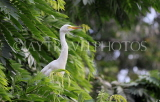 SRI LANKA, Kandy, Kandy lakeside, Great Egret perched on tree, SLK3905JPL