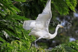 SRI LANKA, Kandy, Kandy lakeside, Great Egret taking off, SLK3906JPL
