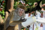 SRI LANKA, Kandy, Kandy lakeside, Macaque Monkey, with picked up paper cup, SLK3970JPL