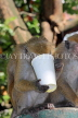 SRI LANKA, Kandy, Kandy lakeside, Macaque Monkey, with picked up paper cup, SLK3971JPL