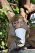 SRI LANKA, Kandy, Kandy lakeside, Macaque Monkey, with picked up paper cup, SLK3972JPL