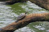 SRI LANKA, Kandy, Kandy lakeside, Terrapin on tree branch, SLK4051JPL