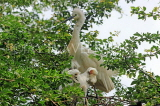 SRI LANKA, Kandy, Kandy lakeside, young Egrets nesting on tree, SLK3899JPL