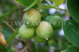 SRI LANKA, Kandy, Lime tree with fruit, SLK5914JPL