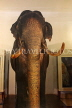 SRI LANKA, Kandy, Temple of the Tooth (Dalada Maligawa), famous Raja elephant (stuffed remains), SLK2895JPL