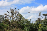 SRI LANKA, Kandy area, Bats on a tree top, SLK2493JPL