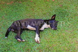 SRI LANKA, Kandy area, dog taking an afternoon nap, SLK4543JPL
