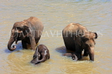 SRI LANKA, Pinnewala, adult and baby elephants bathing and playing in Maha Oya, SLK2418JPL