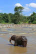 SRI LANKA, Pinnewala, elephant (tusker) bathing in Maha Oya (Big River), SLK2269JPL