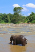 SRI LANKA, Pinnewala, elephant (tusker) bathing in Maha Oya (Big River), SLK2270JPL