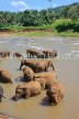 SRI LANKA, Pinnewala, elephant bathing in Maha Oya (Big River), SLK2322JPL