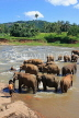SRI LANKA, Pinnewala, elephants bathing in Maha Oya (Big River), SLK2263JPL