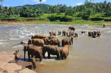 SRI LANKA, Pinnewala, elephants bathing in Maha Oya (Big River), SLK2265JPL