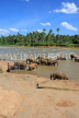 SRI LANKA, Pinnewala, elephants bathing in Maha Oya (Big River), SLK2343JPL