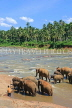 SRI LANKA, Pinnewala, elephants bathing in Maha Oya (Big River), SLK2347JPL