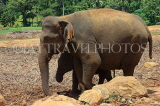 SRI LANKA, Pinnewala Elephant Orphanage, adult elephant and baby, SLK2294JPL