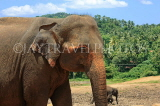 SRI LANKA, Pinnewala Elephant Orphanage, adult elephant closeup, SLK2305JPL