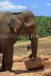 SRI LANKA, Pinnewala Elephant Orphanage, adult elephant closeup, SLK2306JPL