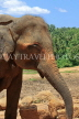 SRI LANKA, Pinnewala Elephant Orphanage, adult elephant closeup, SLK2309JPL