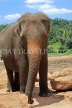 SRI LANKA, Pinnewala Elephant Orphanage, adult elephant closeup, SLK2310JPL