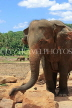 SRI LANKA, Pinnewala Elephant Orphanage, adult elephant closeup, SLK2311JPL
